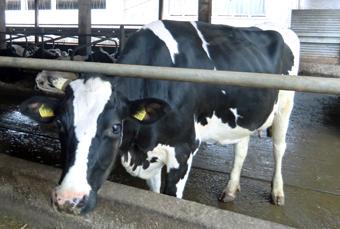 Kuh in einem Tierstall nach einer Raumvitaliserung von raumvital